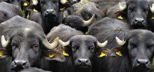 allevamento bufale, bovini